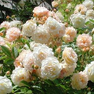 cvety-roza