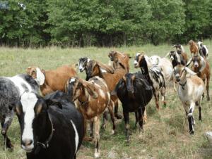 nubijskaya-koza