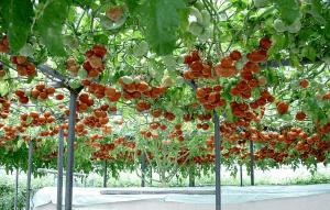 pomidory-v-zimnem-sadu1