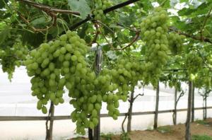 vinograd-v-zimnem-sadu