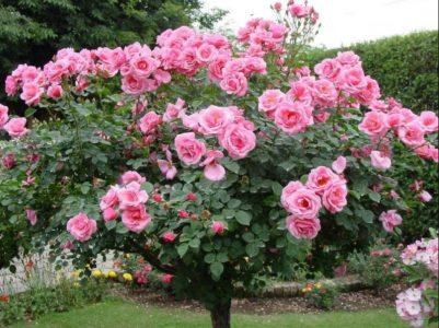 roza-na-shtambe